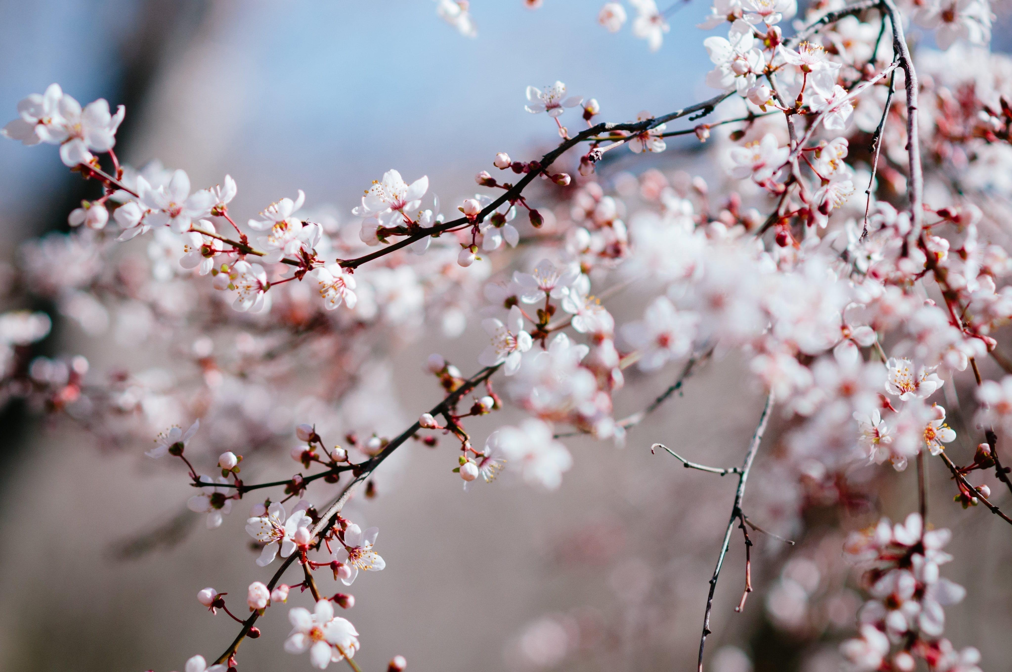 Cherry Blossom Tree Service Utah